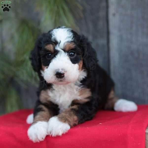Abby, Miniature Bernedoodle Puppy