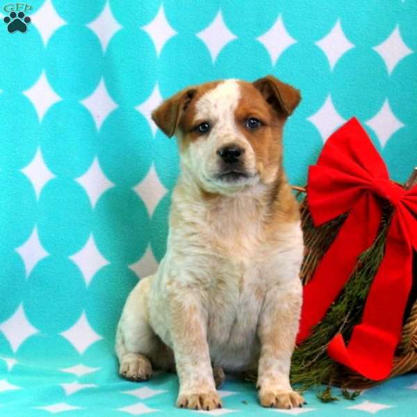 Ajay – Red Heeler, Blue Heeler - Australian Cattle Dog Puppy