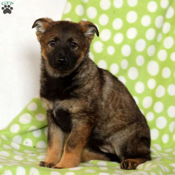 Aliyah, German Shepherd Puppy