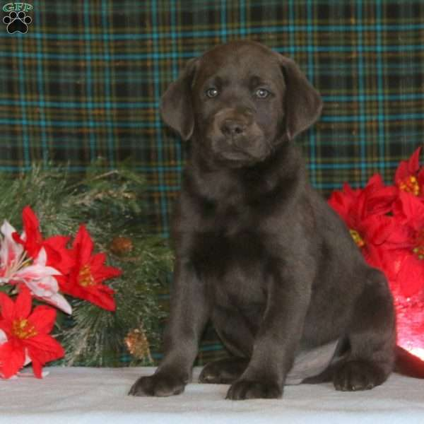 Arnie, Charcoal Labrador Retriever Puppy