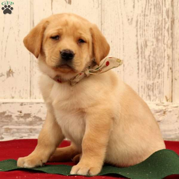 Atlee, Yellow Labrador Retriever Puppy