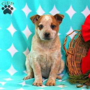 Audrey – Red Heeler, Blue Heeler - Australian Cattle Dog Puppy