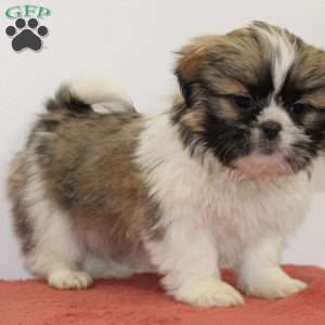 shih tzu puppies for sale in philadelphia shih tzu puppies for sale in de md ny nj philly dc and 3839