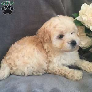 Bella, Whoodle - Miniature Puppy