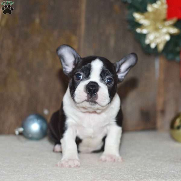 Benny, Boston Terrier Puppy