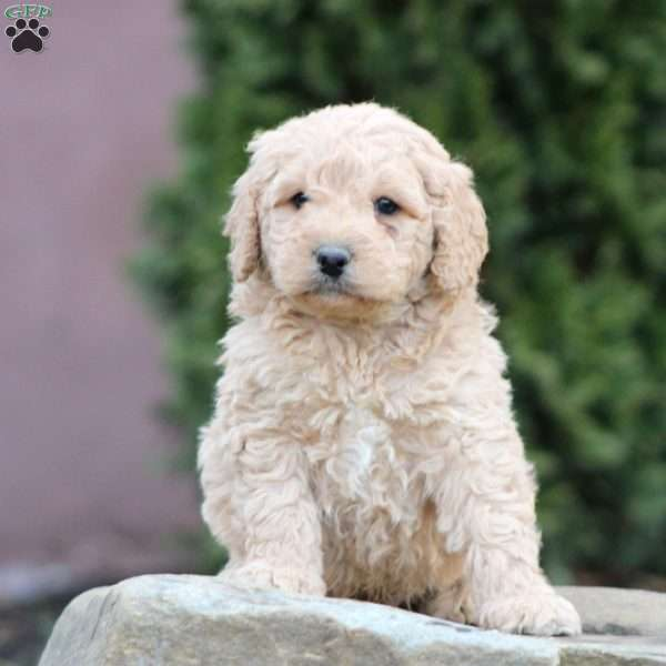 Blake, Mini Goldendoodle Puppy