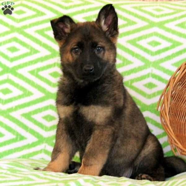 Brandy, German Shepherd Puppy