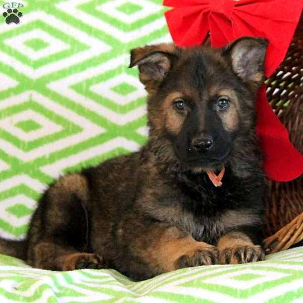Bryce, German Shepherd Puppy