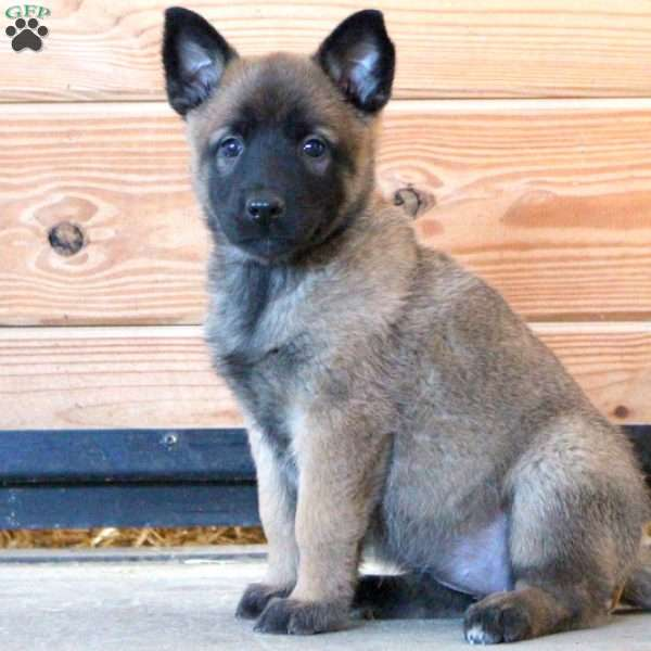 Caitlyn - Belgian Malinois Puppy For Sale in Pennsylvania