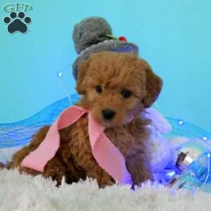 Cherish, Goldendoodle-Miniature Puppy