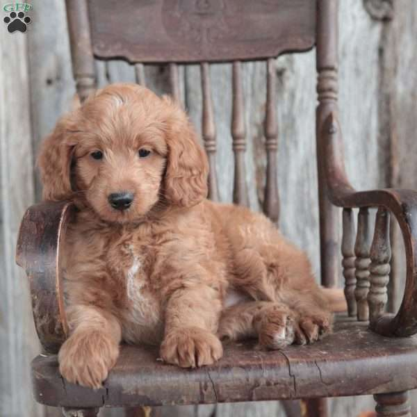 Chester, Bernedoodle-Miniature Puppy