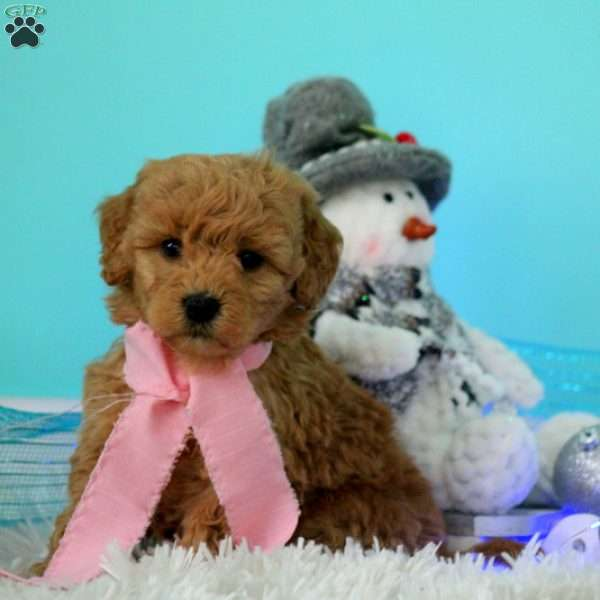 Cheyenne, Mini Goldendoodle Puppy