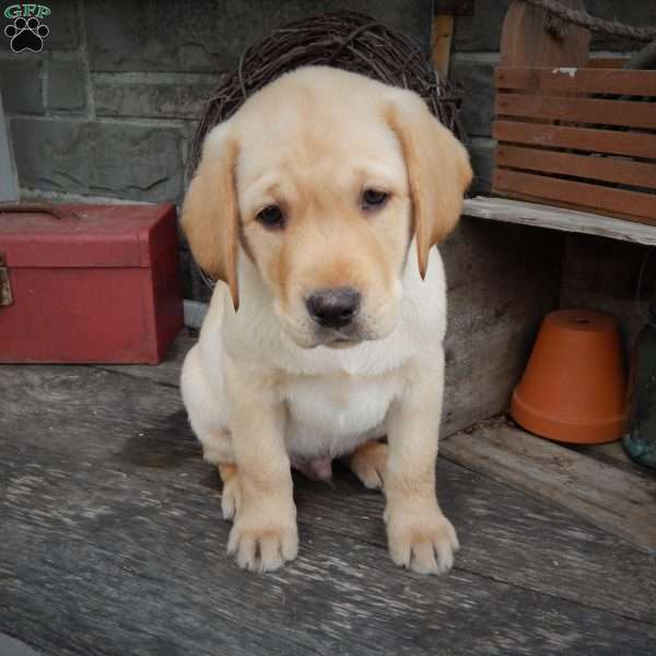 Cooper, Yellow Labrador Retriever Puppy