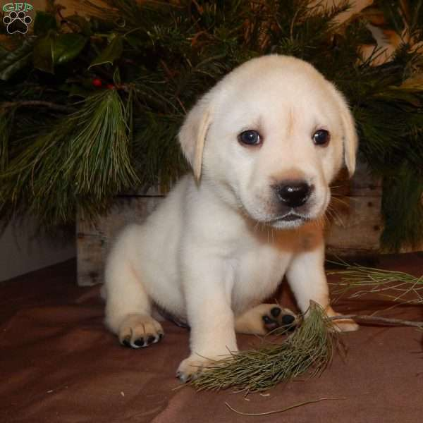 Dexter, Yellow Labrador Retriever Puppy