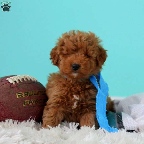Daine, Goldendoodle-Miniature Puppy