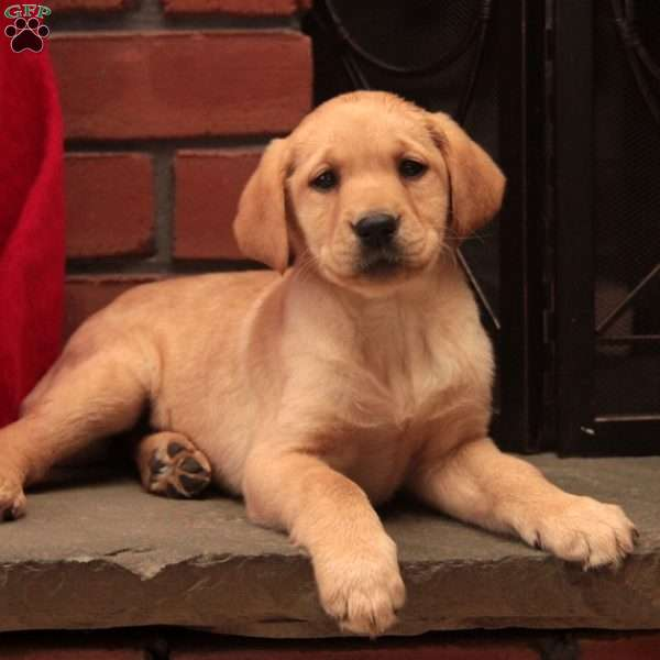 Daisy-English Lab, Labrador Retriever - Yellow Puppy