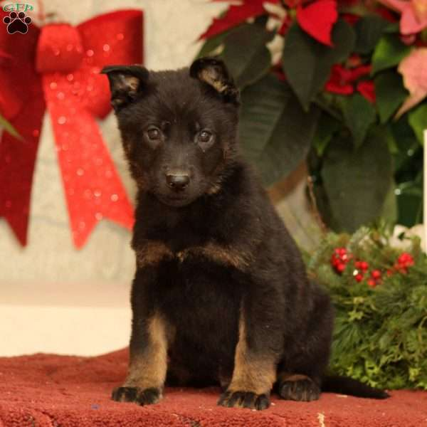 Dante, German Shepherd Puppy
