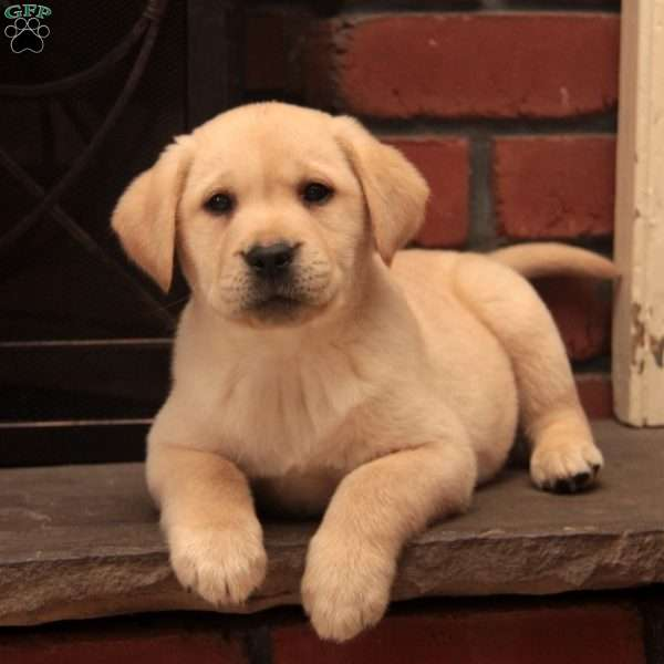 Duke-English Lab, Yellow Labrador Retriever Puppy