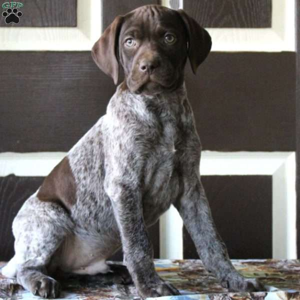 Eli, German Shorthaired Pointer Puppy