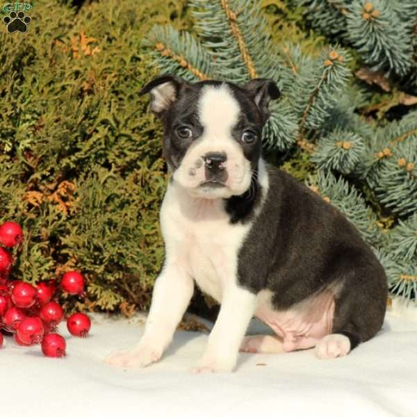 Elijah, Boston Terrier Puppy