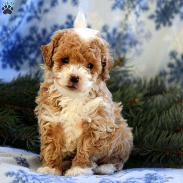 Elliot, Miniature Poodle Puppy
