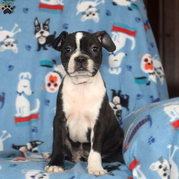 Ezra, Boston Terrier Puppy