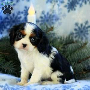 Frenchie, Cavalier King Charles Spaniel Puppy