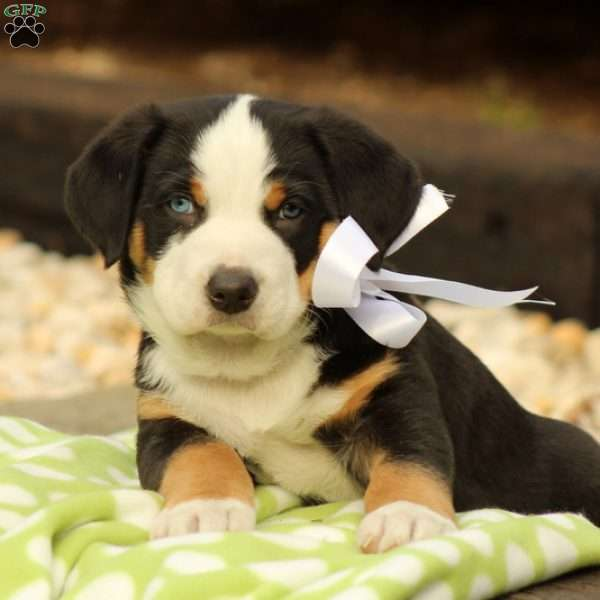 Gatsby, Greater Swiss Mountain Dog Puppy