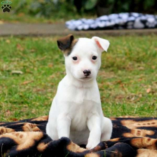 Griffin, Jack Russell Terrier Puppy