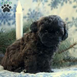 Hailey, Shih Tzu Mix Puppy