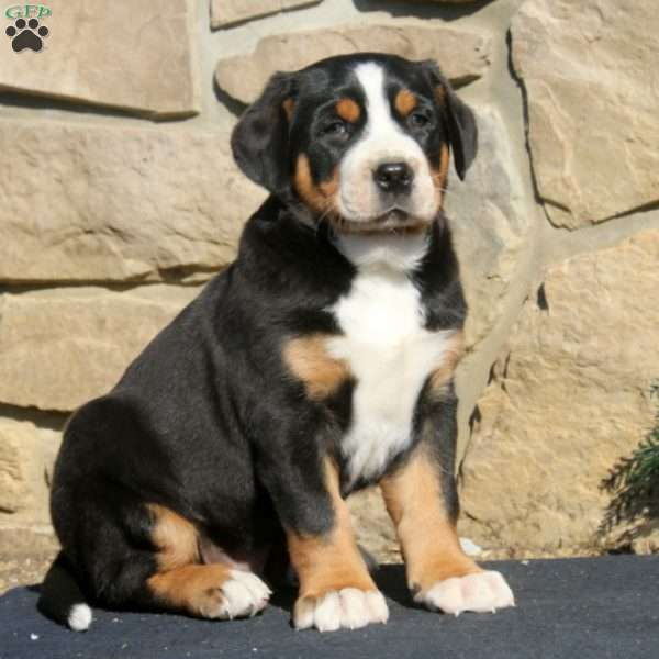 Harley - Greater Swiss Mountain Dog Puppy For Sale in ...