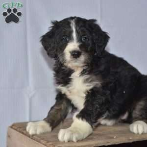 Holly, Bernedoodle Puppy