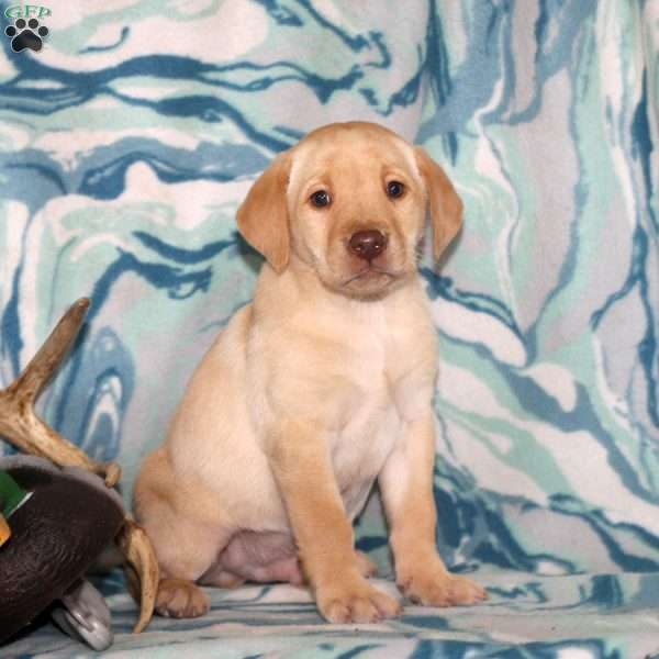 Isaac, Yellow Labrador Retriever Puppy