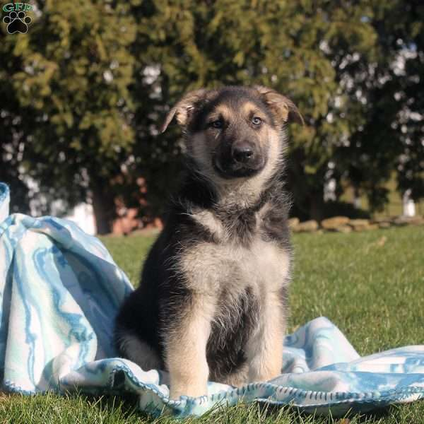 Isaac, German Shepherd Puppy