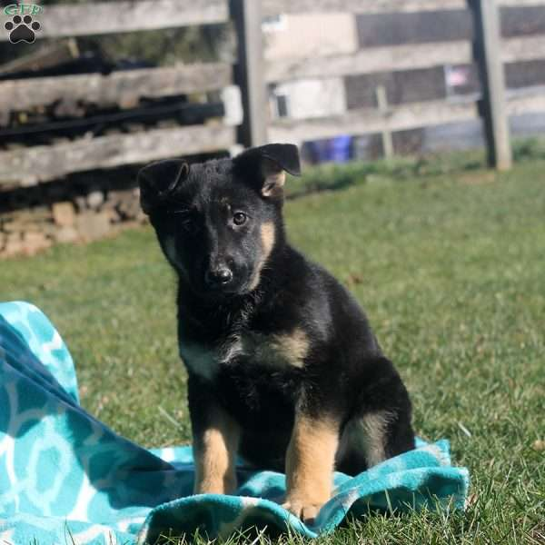 Jerica, German Shepherd Puppy