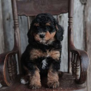 John Yoder Dog Breeder from Flat Rock, IL | Greenfield Puppies