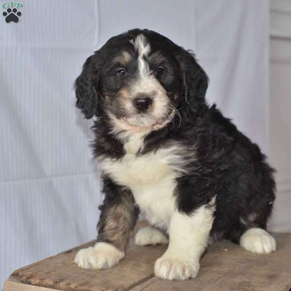 Kate, Bernedoodle Puppy