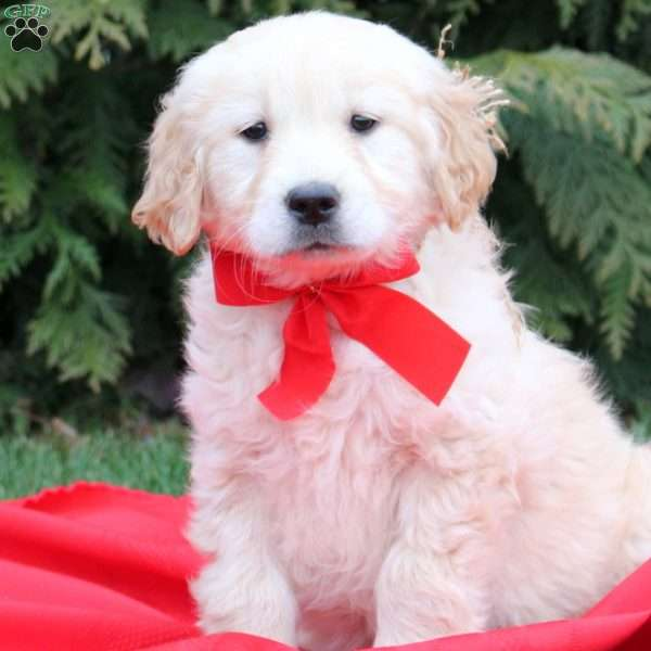Kathrin, Golden Retriever Puppy