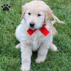 Kendall, Golden Retriever Puppy