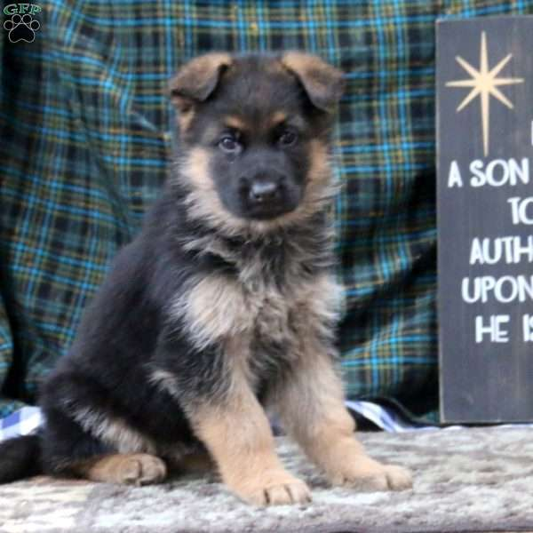 Krissy, German Shepherd Puppy