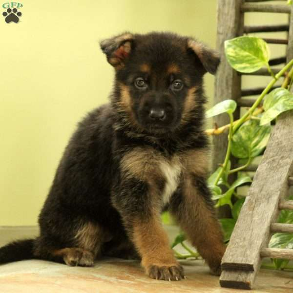 Lacey, German Shepherd Puppy