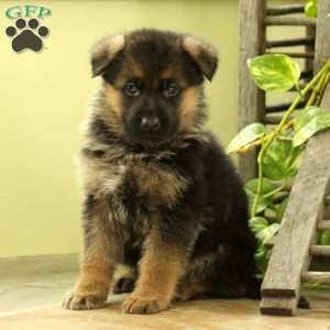 Laslow, German Shepherd Puppy