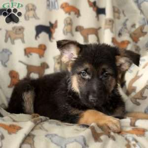 Leah, German Shepherd Puppy