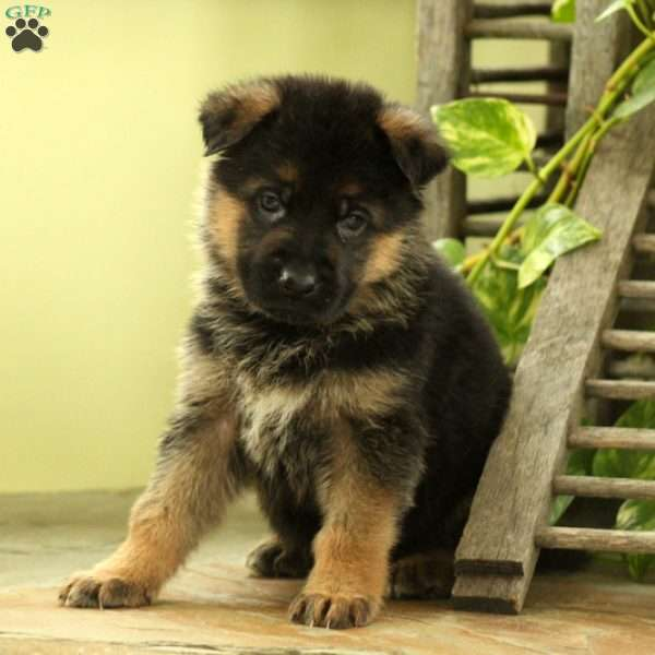 Lee, German Shepherd Puppy