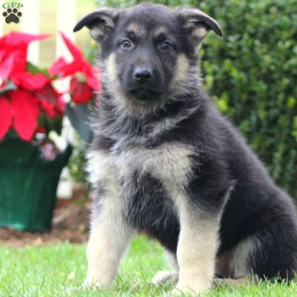 Levi, German Shepherd Puppy