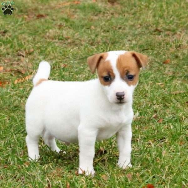 Link, Jack Russell Terrier Puppy