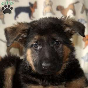 Lisa, German Shepherd Puppy