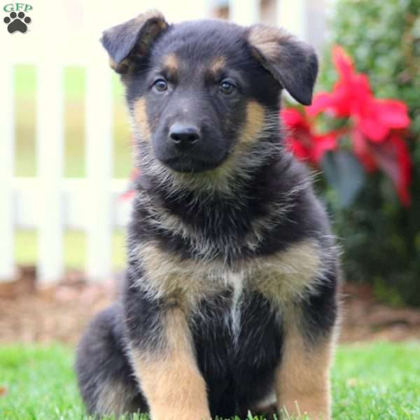 Logan, German Shepherd Puppy