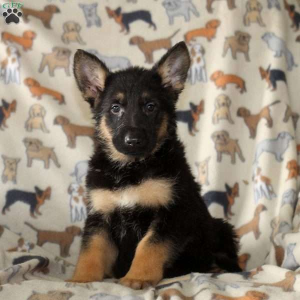 Larry, German Shepherd Puppy