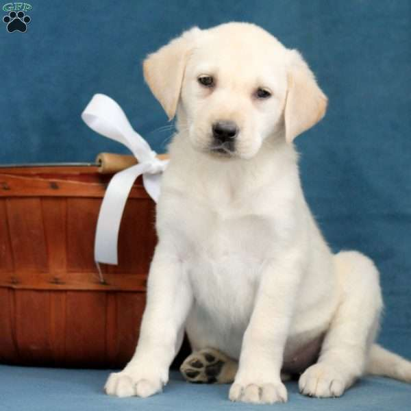 Mable, Yellow Labrador Retriever Puppy